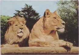 CPM - PARC ZOO DE THOIRY EN YVELINES - LIONS EN LIBERTE - Edition Combier - Other