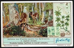 LIEBIG - FR -  1 Chromo N° 3 - Série/Reeks S 1352 - Défense Des Plantes Contre Les Herbivores: Aspérule Odorante. - Liebig