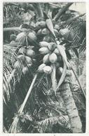 Coconuts Grown At Cedros - South Trinidad, B.W.I. - Trinidad