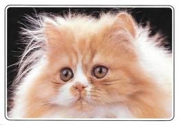Chaton Persan Roux Et Blanc (2 Scans) - Cats