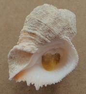 Coralliophila Abbreviata Martinique (Sainte-Luce) 25,5mm  F+++  Avec OPERCULE N5 - Seashells & Snail-shells
