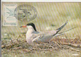 D4082- COMMON TERN, BIRDS, MAXIMUM CARD, 1991, ROMANIA - Marine Web-footed Birds