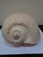 Malacologia. Gran Concha De Caracol Marino Melo Amphora .26 X 22 X 18 Cm. - Otros