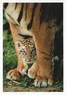 Bébé Tigre (2 Scans) - Tigers
