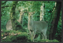 Ireland, Kerry, Kilarney National Park, Sika (deer), Unused - Kerry