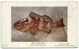 Postcard Zoological Fish Red Grouper Aquarium New York United State 1909 - Altri