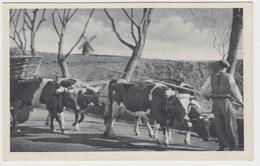 Açores * São Miguel * Carro De Bois - Açores
