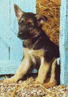 German Shepherd - Alt Deutscher Schäferhund - Alsatian - Berger Allemand - Dog - Chien - Cane - Hund - Hond - Perro - Chiens