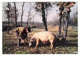 DORDOGNE  /  LE  PERIGORD  PITTORESQUE  /  CHERCHEUR  DE  TRUFFES  ( Avec Son Cochon, Sa Cochonne ! ) - Varkens