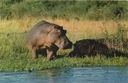 CPA ANIMAUX Hippopotames Au Bord De L'eau - Hippopotames