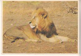 Beau Lion - Lions