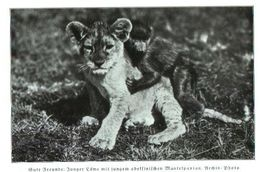 Gute Freunde: Junger Löwe Mit Jungem Abessinischem Mantelpavian) / Druck, Entnommen Aus Zeitschrift /1936 - Bücher, Zeitschriften, Comics