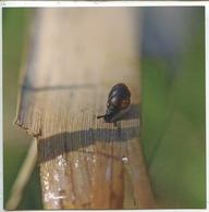 Vertigo Des Moulins (vertigo Moulinsiana) Escargot Des Zones Humides Gasteropode (cp Vierge)  Parc Boucles De La Seine - Other
