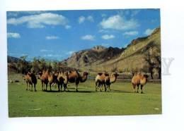 141699 MONGOLIA Zabhan Aimak Aymaq Mongolian CAMELS OLD PC - Mongolia