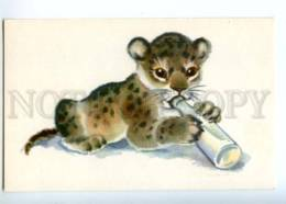 153331 ZOO CIRCUS Hungry Lion Old Russian PC - Cats
