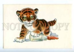 153334 ZOO CIRCUS Young Tiger Old Russian PC - Cats