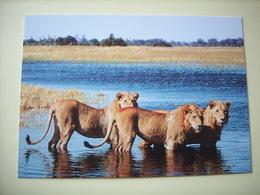 Lion Africain (carte WWF) - (Réf. 20.306) - Lions