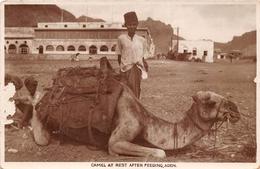 ¤¤  -  YEMEN   -  ADEN  -  Camel At Rest After Feeding   -  Chameau   -  ¤¤ - Yémen