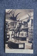 LYON - Museum Des Sciences Naturelles : Cerf à Bois Gigantesques Des Tourbières D'IRLANDE - Lyon