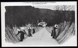 1980  --  LUXEMBOURG VERS 1910  CULTURE DE L OSIER   3P593 - Old Paper