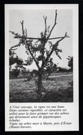 1980  --  VIGNE SUR ARBRE MORT A MARIN PRES EVIAN  HAUTE SAVOIE 74   3P594 - Old Paper
