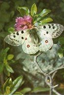 Parco Nazionale Gran Paradiso - Pernassio Apollo Su Rododendro Ferrugineo - - Autres