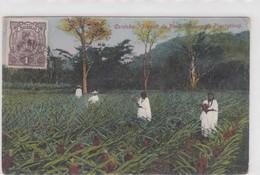 Cordoba. Plantio De Pinas - Mexico