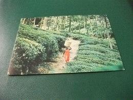 PRODUZIONE DEL THE E TRASPORTO DONNA CON CESTA SUL CAPO  TEA PLUCKER CARRYING HER PICK TO THE FACTORY SRI LANKA  CEYLON - Sri Lanka (Ceylon)