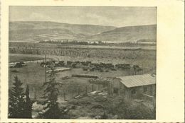 Israel Palestine, Cattle On A Pasture Ground (1930s) Tmunia Postcard 194 - Israele