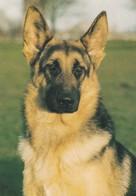 German Shepherd - Alt Deutscher Schäferhund - Alsatian - Berger Allemand - Dog - Chien - Cane - Hund - Hond - Perro - Dogs