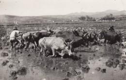 Madagascar, Republika Malagasy Era 1965, Herding Cattle?, C1960s Vintage Postally Used (Sc#367) Postcard - Madagascar