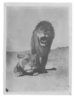 Photo Vers 1900, Lion, Lionne - Photos