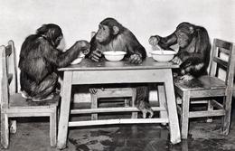 Tiergarten Nurnberg, Germany - Chimpanzee - Nuernberg