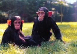 DierenPark  Amersfoort, Netherlands - Chimpanzee - Amersfoort