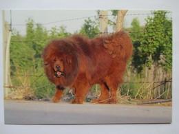 西藏獒犬 - Dogue Du Tibet - Tibetan Mastiff - Hunde