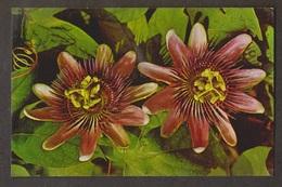Passion Flowers, Bermuda - Uunsed - Bermuda