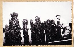Nw2937 → Edition Rare Carte-Photo-Bromure ESNANDES (17) Moules BOUCHOTS à NAISSAINS Boucholeur Mytiliculture 1950s- - France