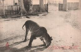 VIET NAM TONKIN TIGRE DANS L'ENCLOS D'UNE HABITATION MUONG POUR ENLEVER DU BETAIL PAS CIRCULEE - Vietnam