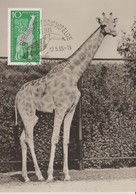 Carte Maximum 1965 Zoo De Berlin Girafe - DDR