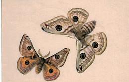 Papillon -  Schmetterling - Kleiner Nachtpfau - Saturnia Pyri Pia Roshardt - Schweizer Wanderkalender 1947 - Insects