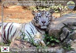 025 Yongin Everland, KR - White Tiger (Panthera Tigris Var. Alba) - Korea, South