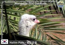 095 Hallim Park, KR - Ostrich (Struthio Camelus) - Korea, South