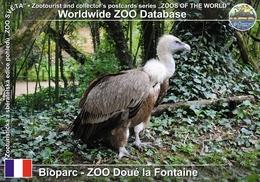 128 Bioparc - ZOO Doue La Fontaine, FR - Western Griffon Vulture (Gyps Fulvus Fulvus) - Doue La Fontaine