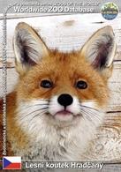 166 Lesni Koutek Hradcany, CZ - European Red Fox ( Vulpes Vulpes Crucigera) - Tchéquie