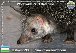 196 Tashkent ZOO, UZ - Brandt's Hedgehog (Hemiechinus Hypomelas) - Uzbekistan