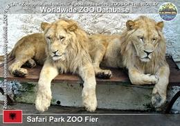 250 Safari Park ZOO Fier, AL - Lion (Panthera Leo) - Albania
