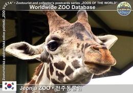 251 Jeonju ZOO, KR - Reticulated Giraffe (Giraffa Camelopardalis Reticulata) - Korea, South