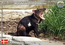 364 Kobenhavn ZOO, DK - Tasmanian Devil (Sarcophilus Harrisii) - Danemark