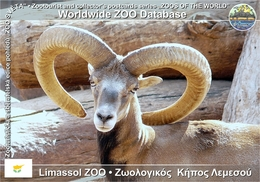 429 Limassol ZOO, CY - Cyprian Mouflon (Ovis Orientalis Ophion) - Cyprus