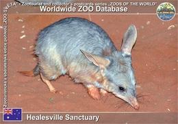 "441 Healesville Sanctauary, AU - ""Central Australian"" Greater Bilby (Macrotis Lagotis Sagitta) - Australia"